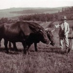 H B Newmarch with his cattle
